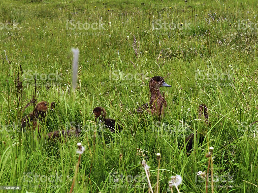 Family of ducks royalty-free stock photo