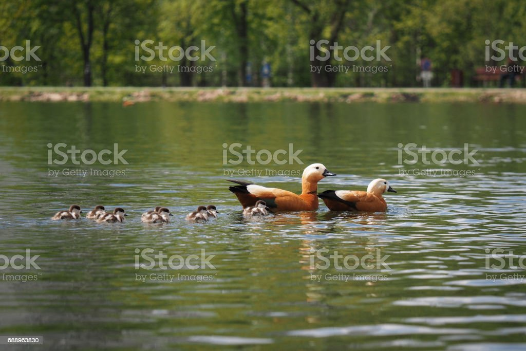 family of ducks with ducklings floating in the pond city Park stock photo