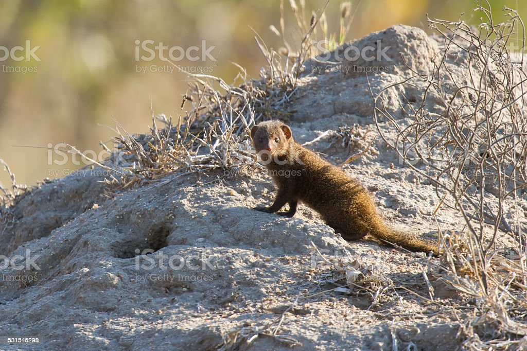 Family of dwarf mongoose sitting on termite nest stock photo
