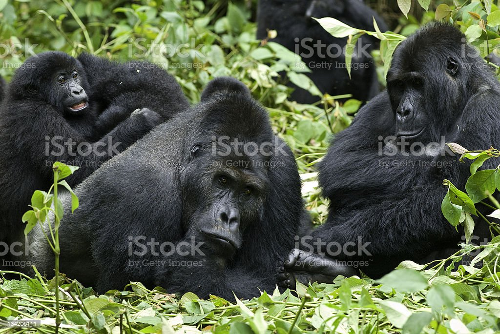 A family of Eastern Lowland Gorillas in the jungles of Congo stock photo