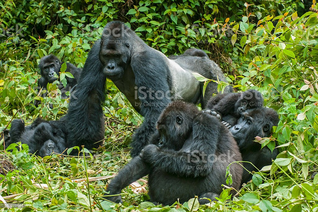 Family of Eastern Lowland Gorillas in the jungles of Congo stock photo