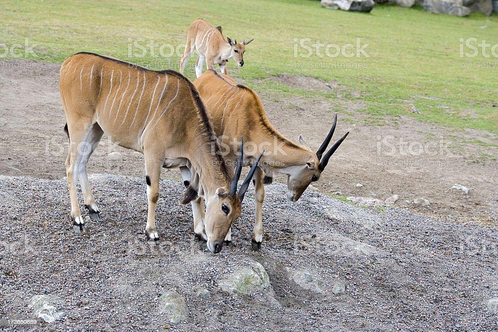 Family of elands royalty-free stock photo