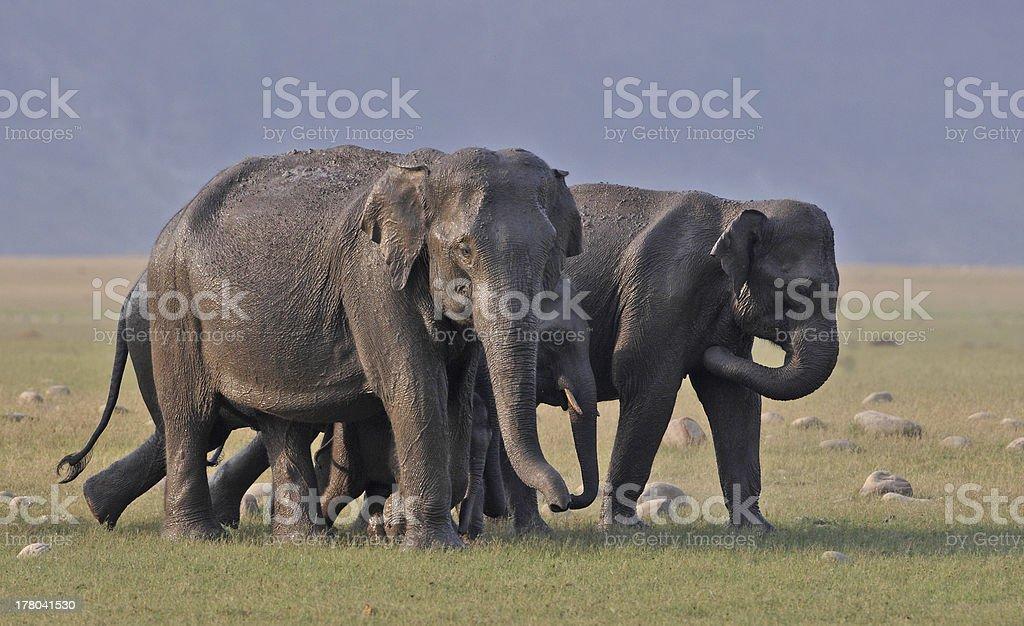 Family of Elephant stock photo