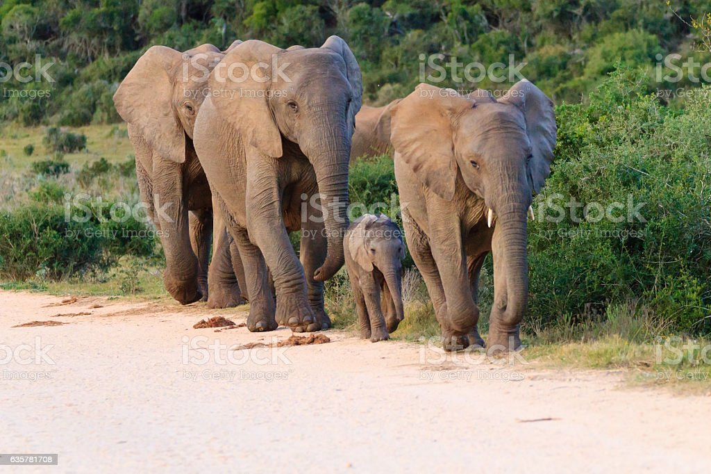 Family of elephants from South Africa stock photo