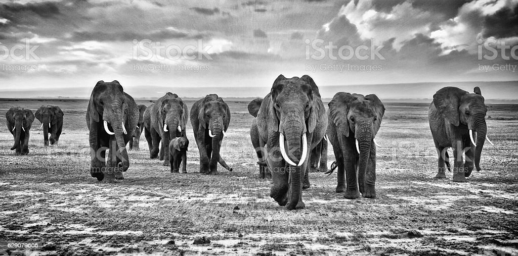 Family of elephants walking group on the African savannah stock photo