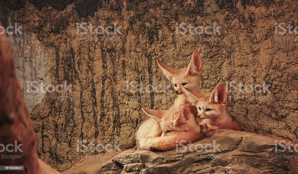 Family of Fennec Foxes royalty-free stock photo