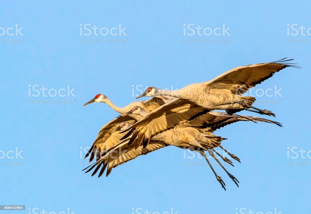 Family of four sandhill cranes flying in tight formation against a blue sky background stock photo