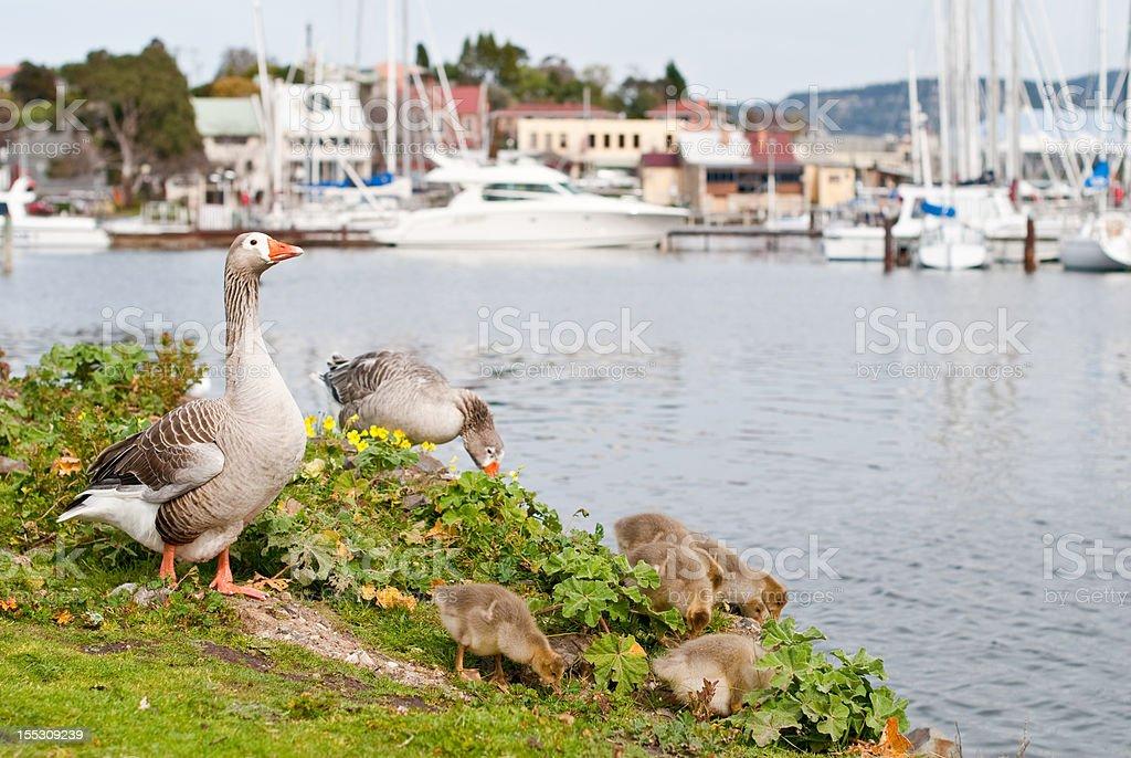 Family of geese feeding at marina, Bellerive, Hobart, Tasmania royalty-free stock photo