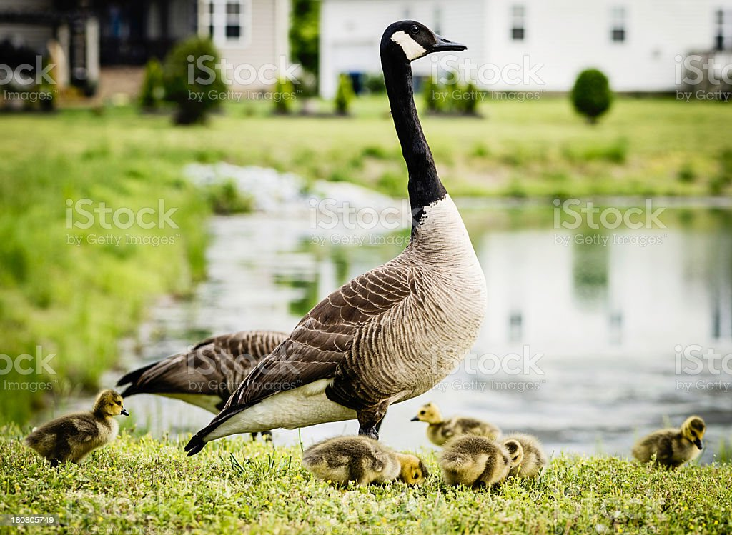 Family of Geese with Three Day Old Chicks royalty-free stock photo