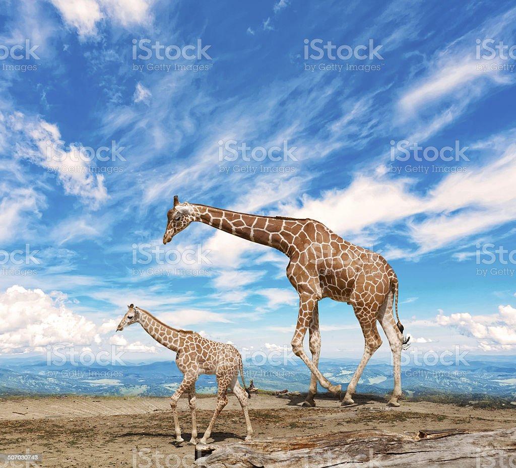 family of giraffes goes against the blue sky stock photo