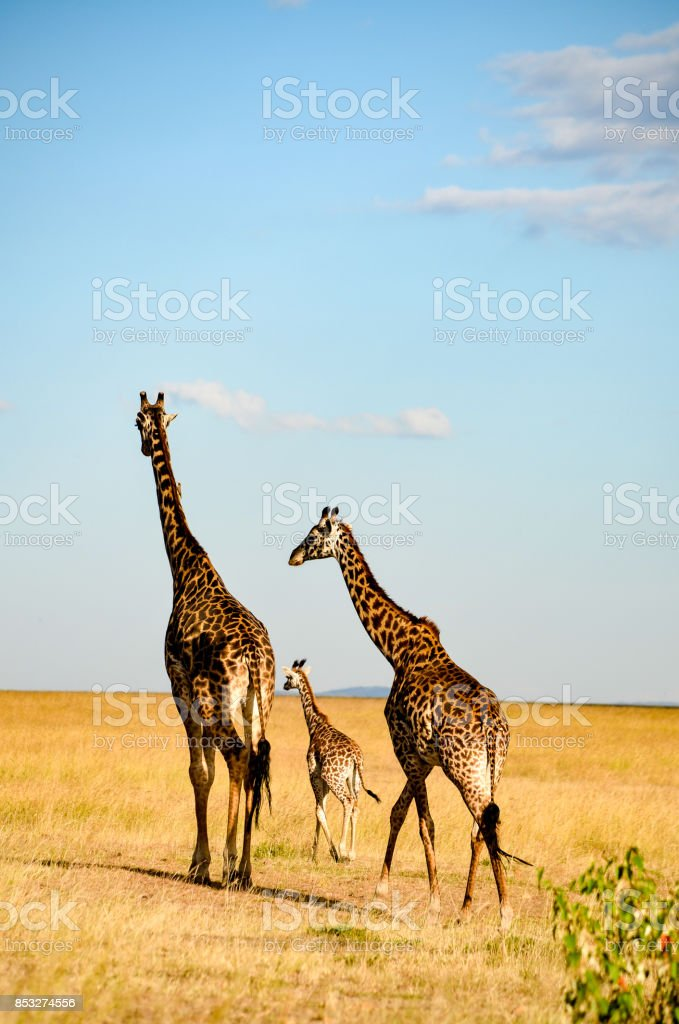 A family of Giraffes take a walk in the wild stock photo