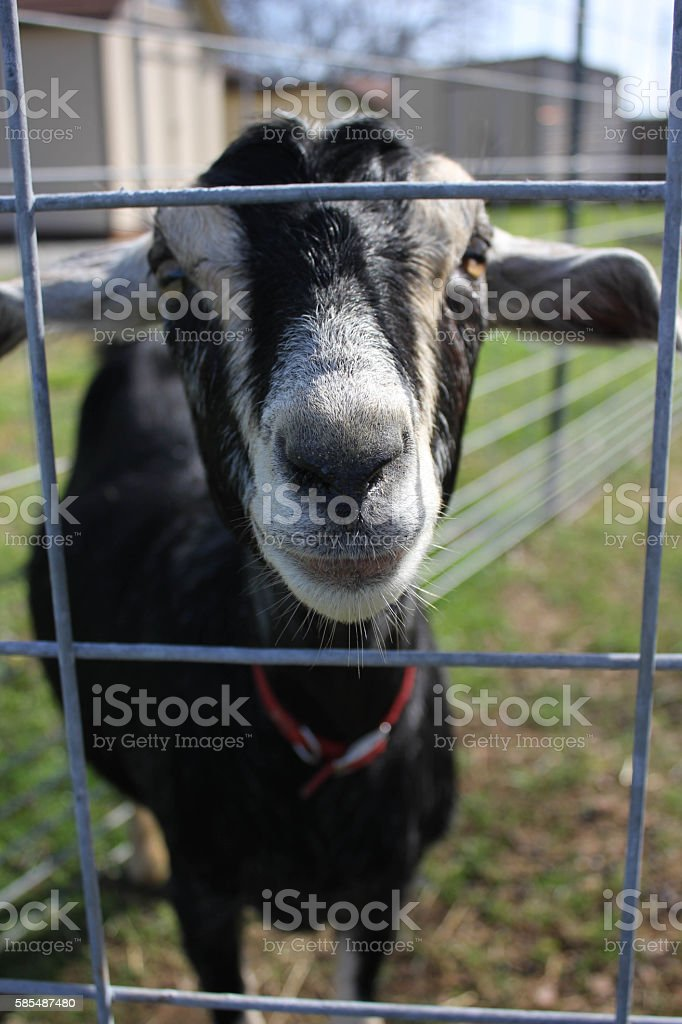 A Family of Goats and kids stock photo