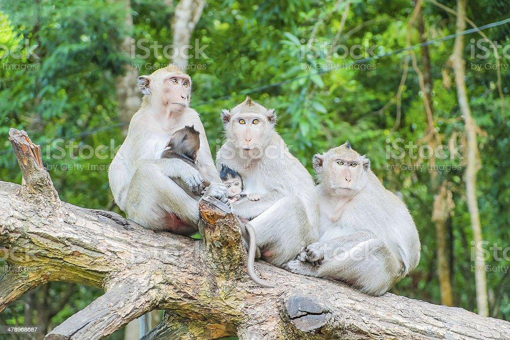 Family of macaque monkeys stock photo