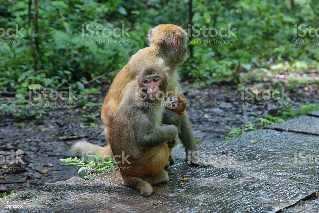 Family of Macaques in Zhangjiajie national park, stock photo
