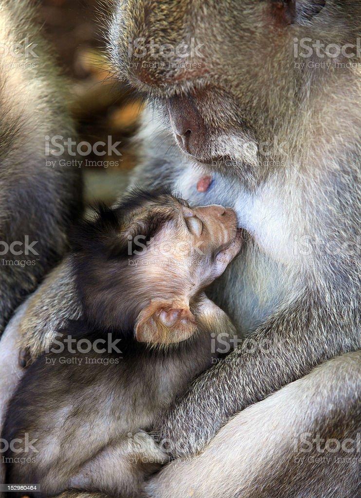 Family of monkeys royalty-free stock photo