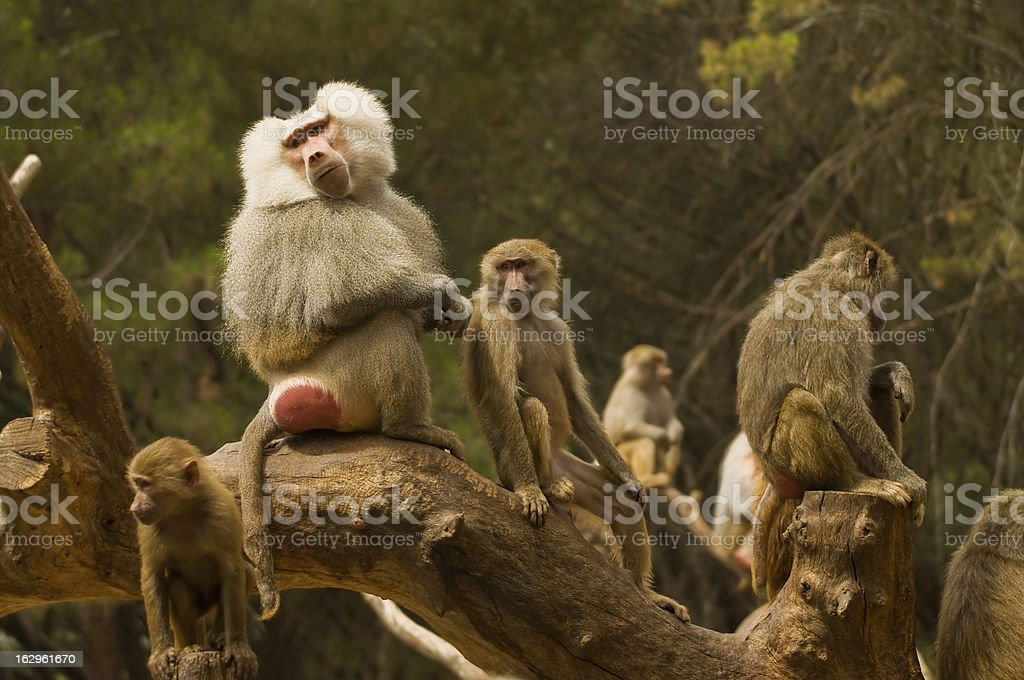 Family of monkeys stock photo