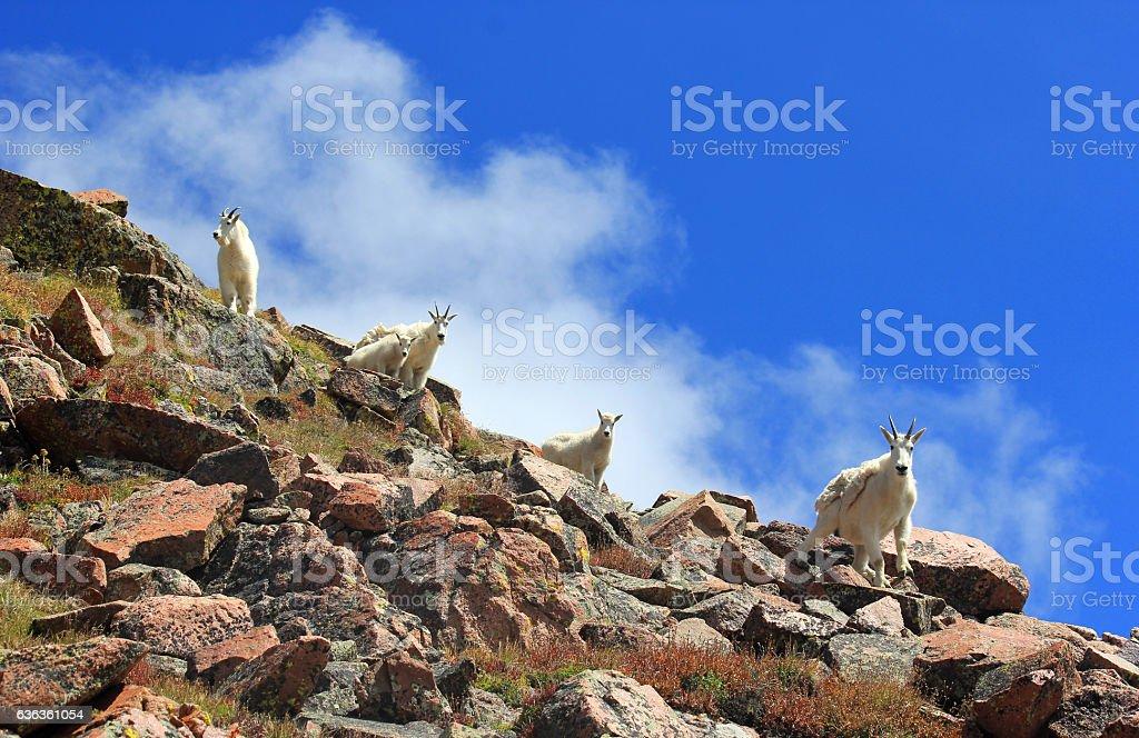 Family of Mountain Goats in the Gore Mountains stock photo