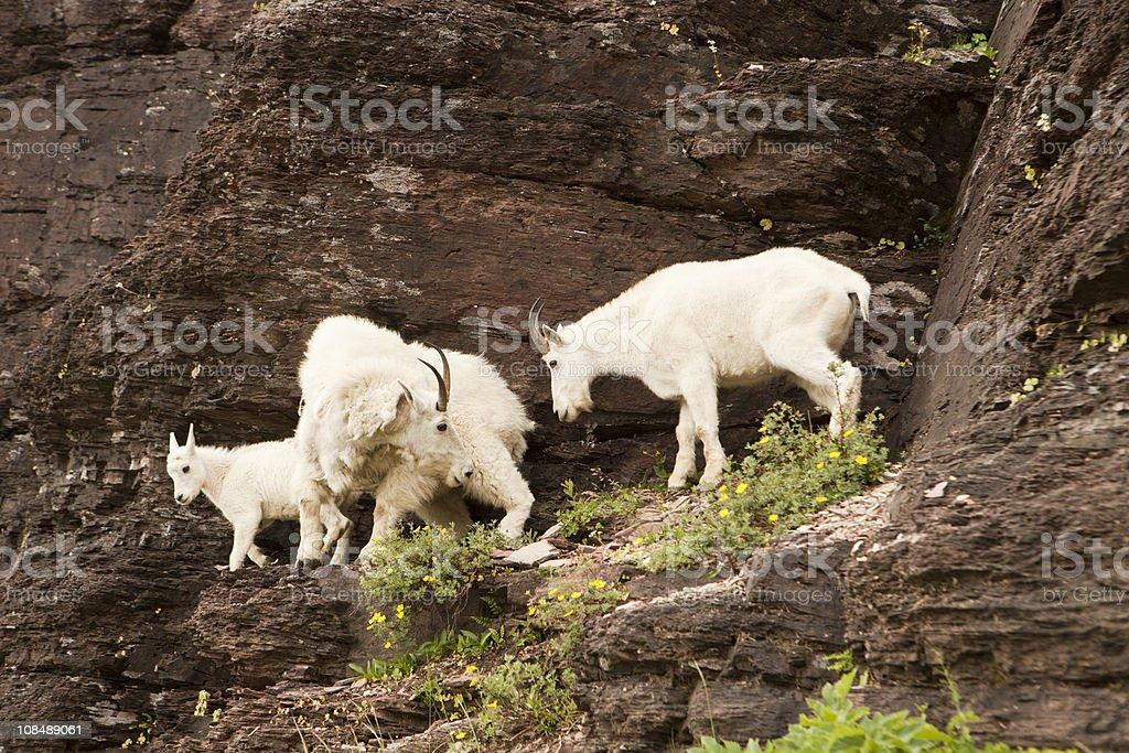 Family of Mountain Goats stock photo