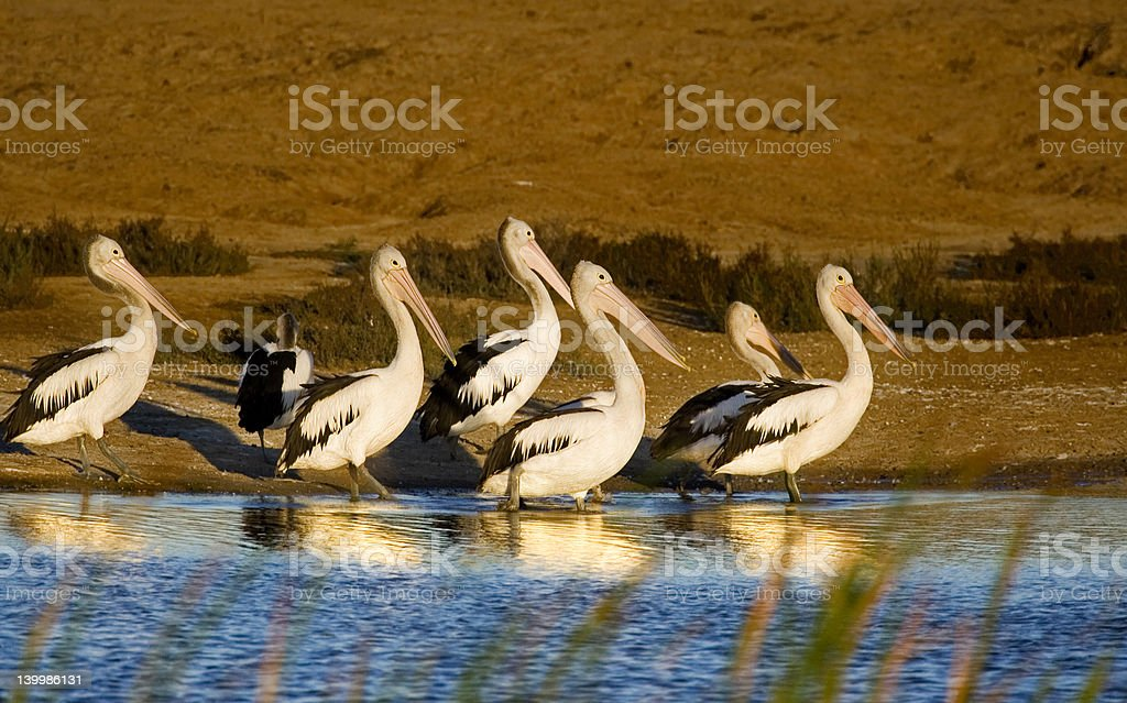 family of pelicans royalty-free stock photo