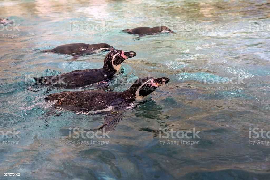 Family of penguins that swim stock photo