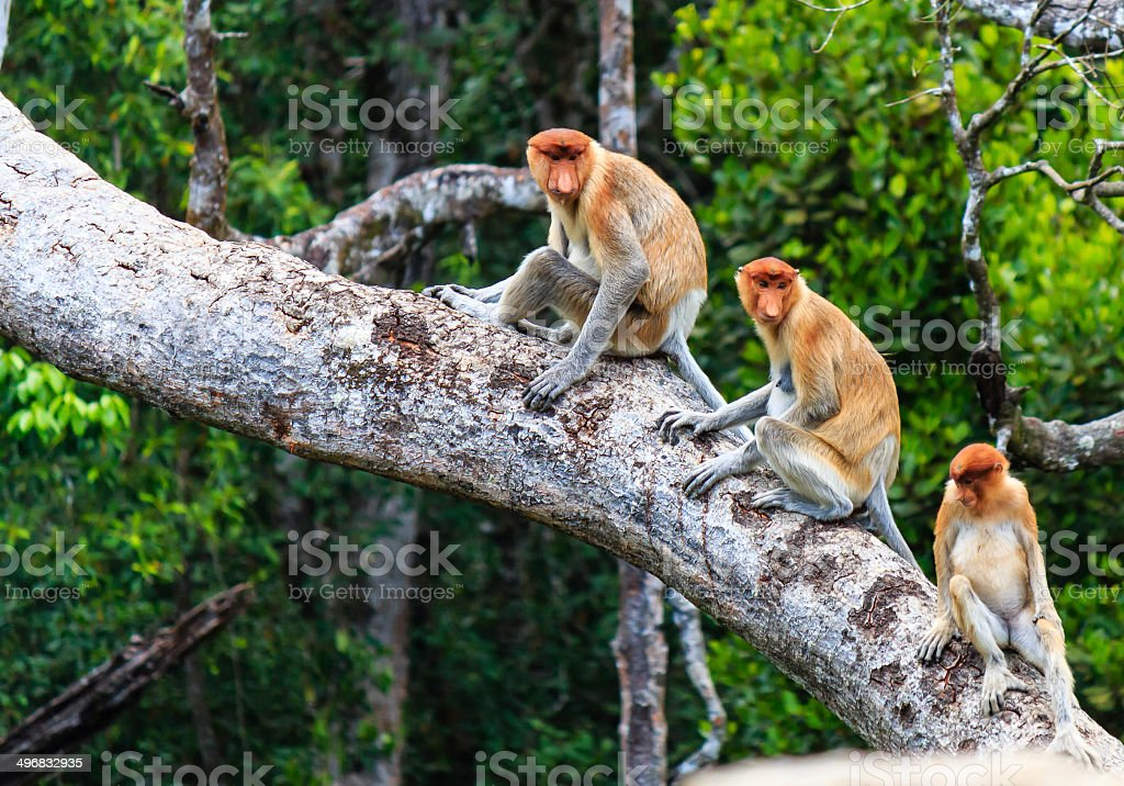 Family of Proboscis Monkeys in a tree stock photo