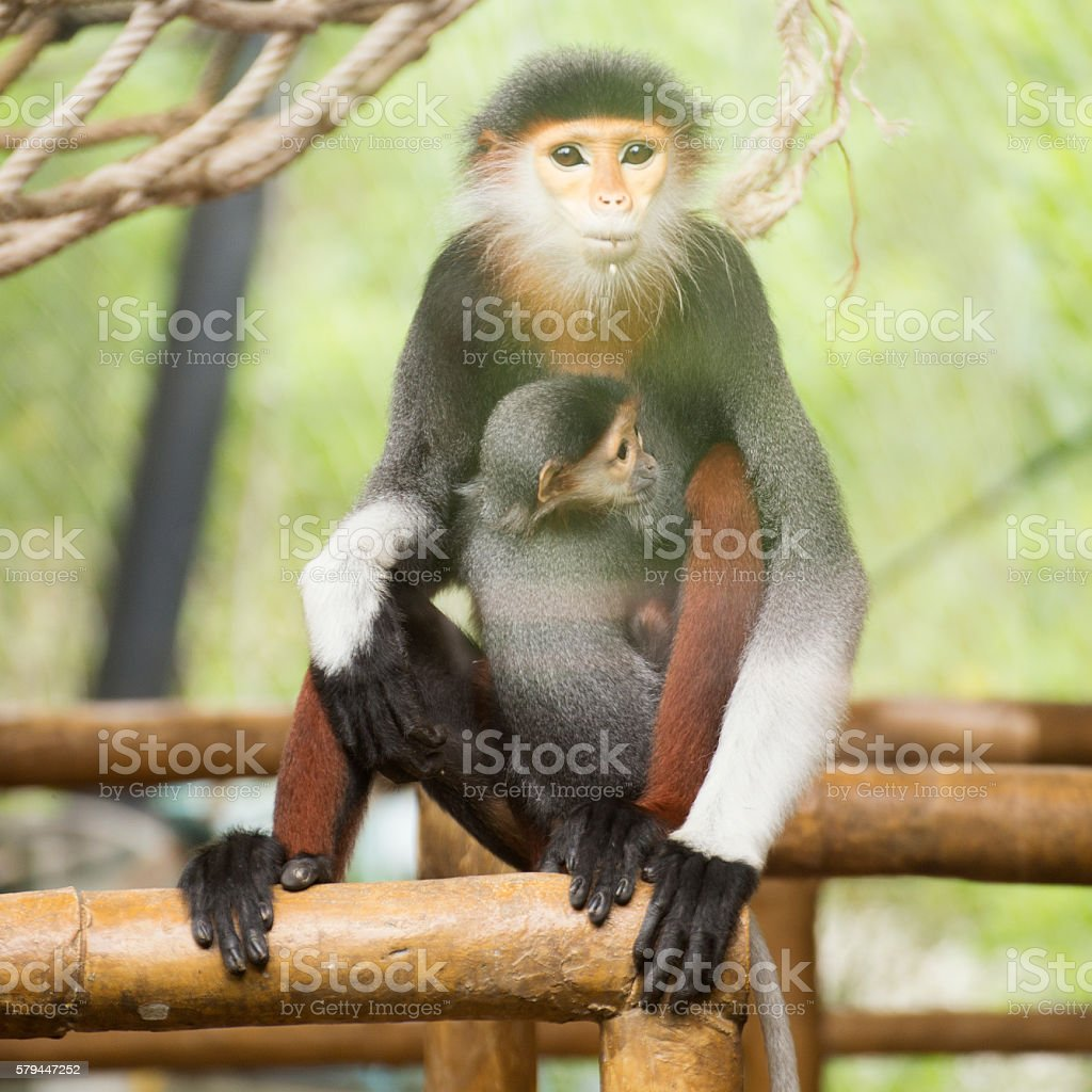 Family of Red-shanked douc langur stock photo