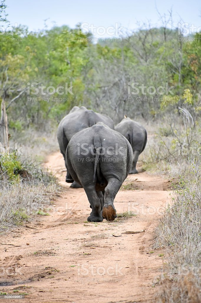 Family of rhinos on the march stock photo