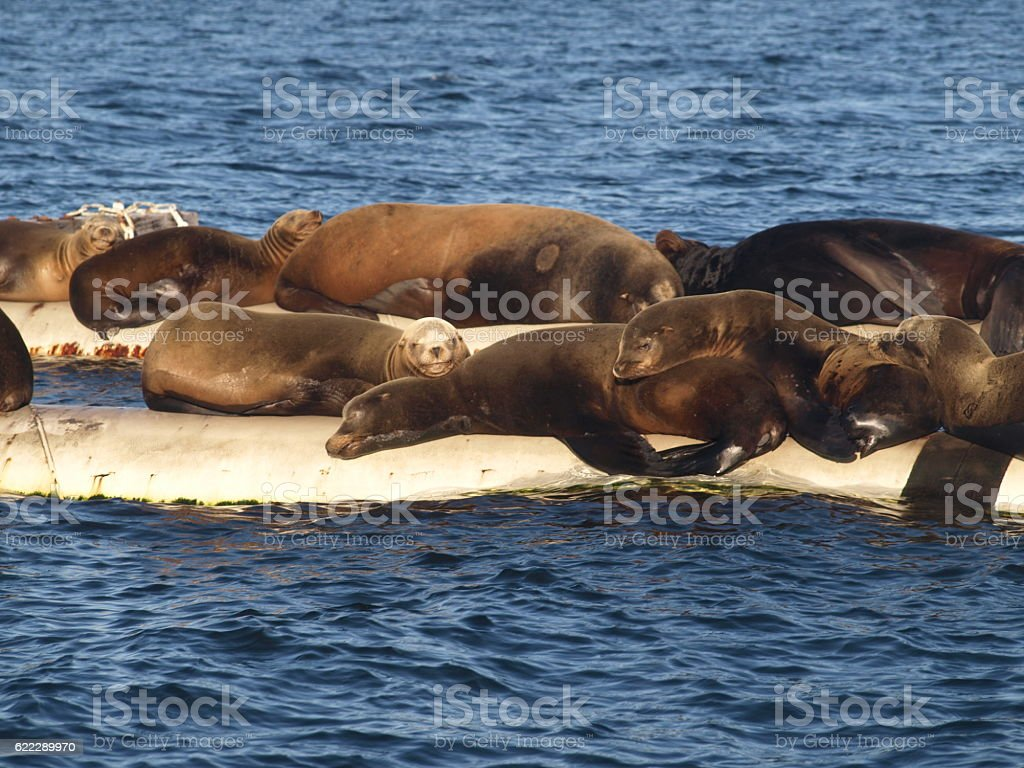 Family of sea lions laying on logs on ocean stock photo