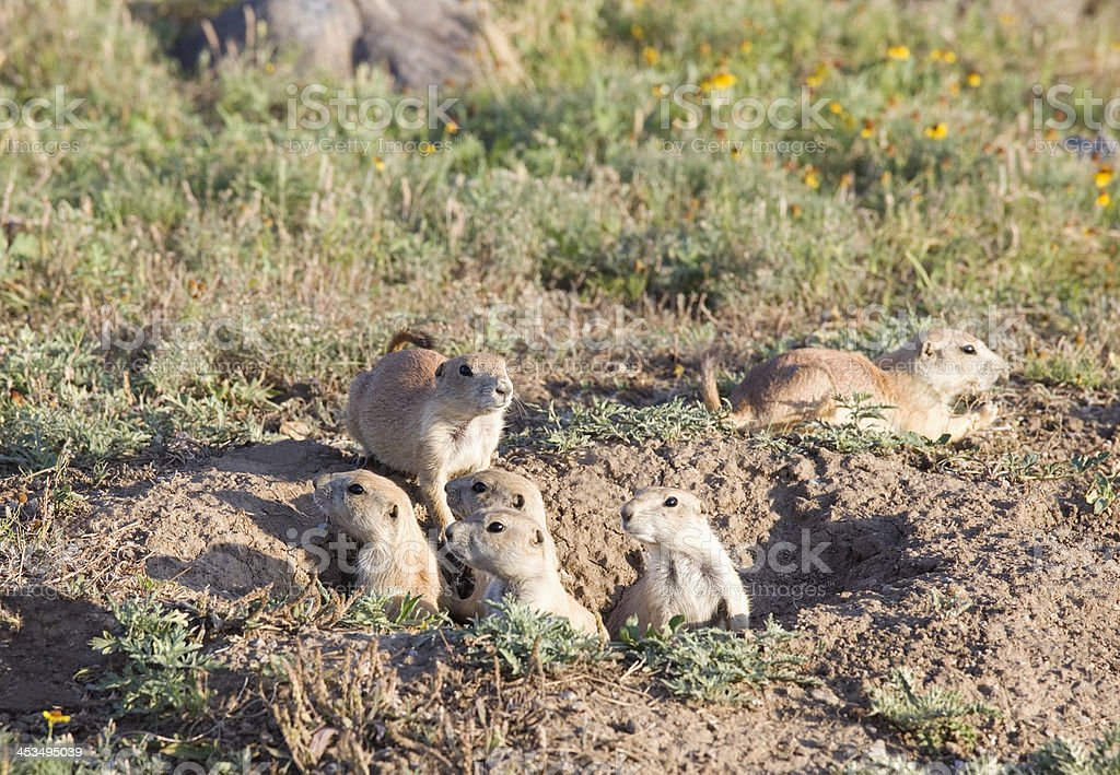 Family of six young Prairie Dogs, Wichita Mountains Wildlife Refuge royalty-free stock photo