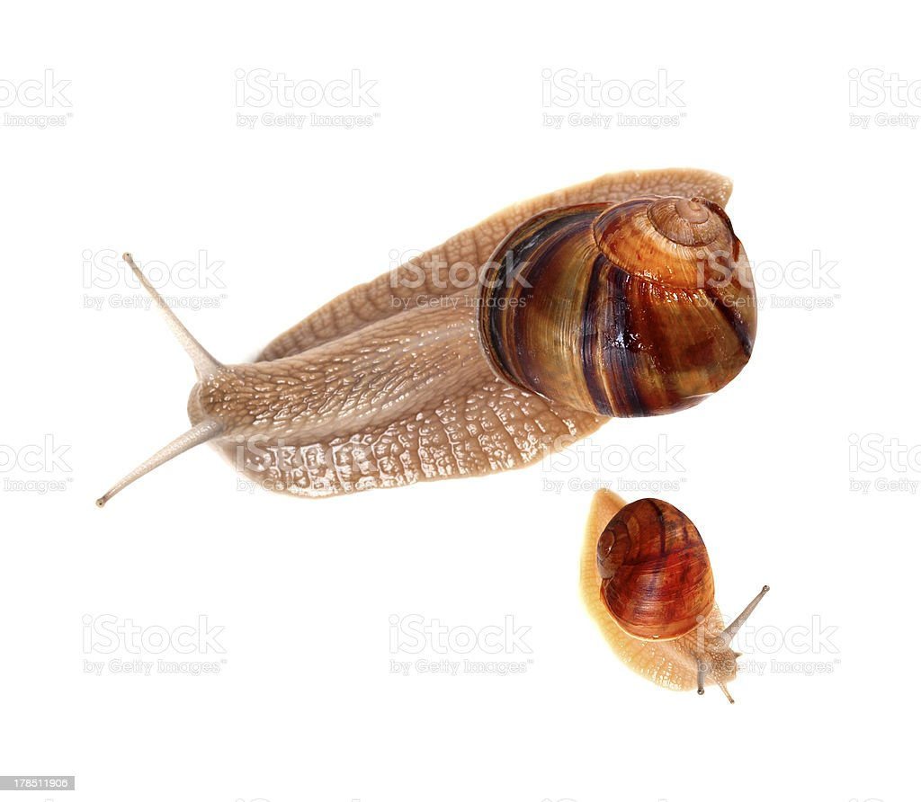 Family of snails isolated on white background royalty-free stock photo