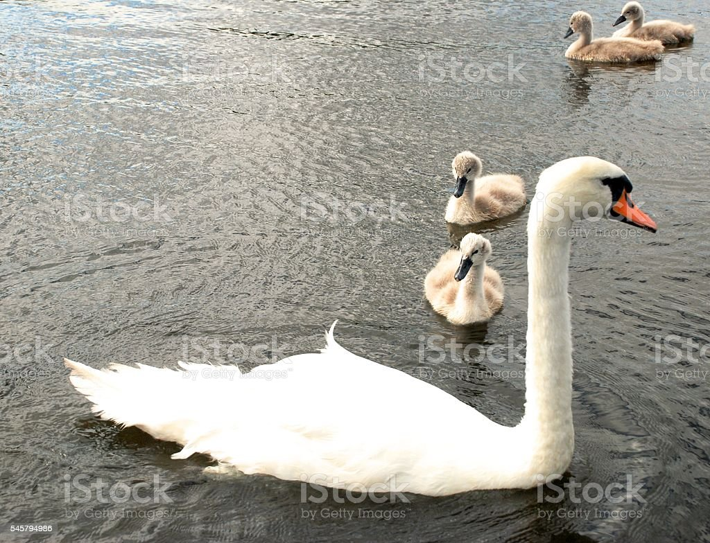 family of swans in the water stock photo