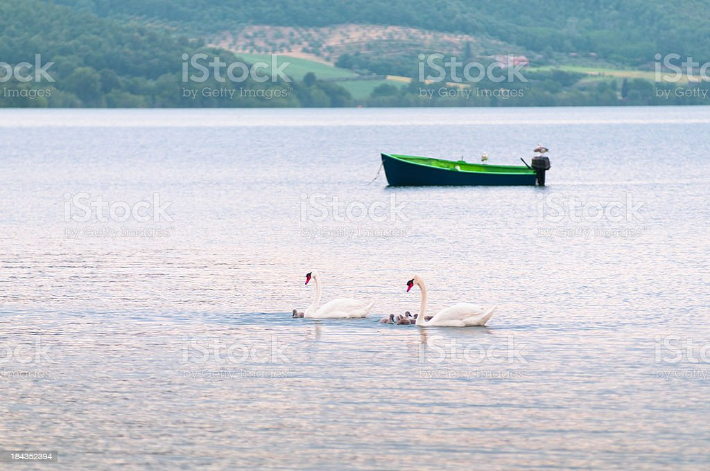 Family of swans swimming on a lake royalty-free stock photo