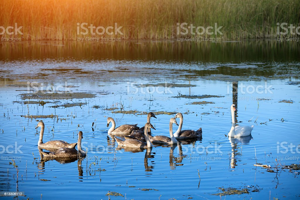 family of swans swimming on the lake stock photo