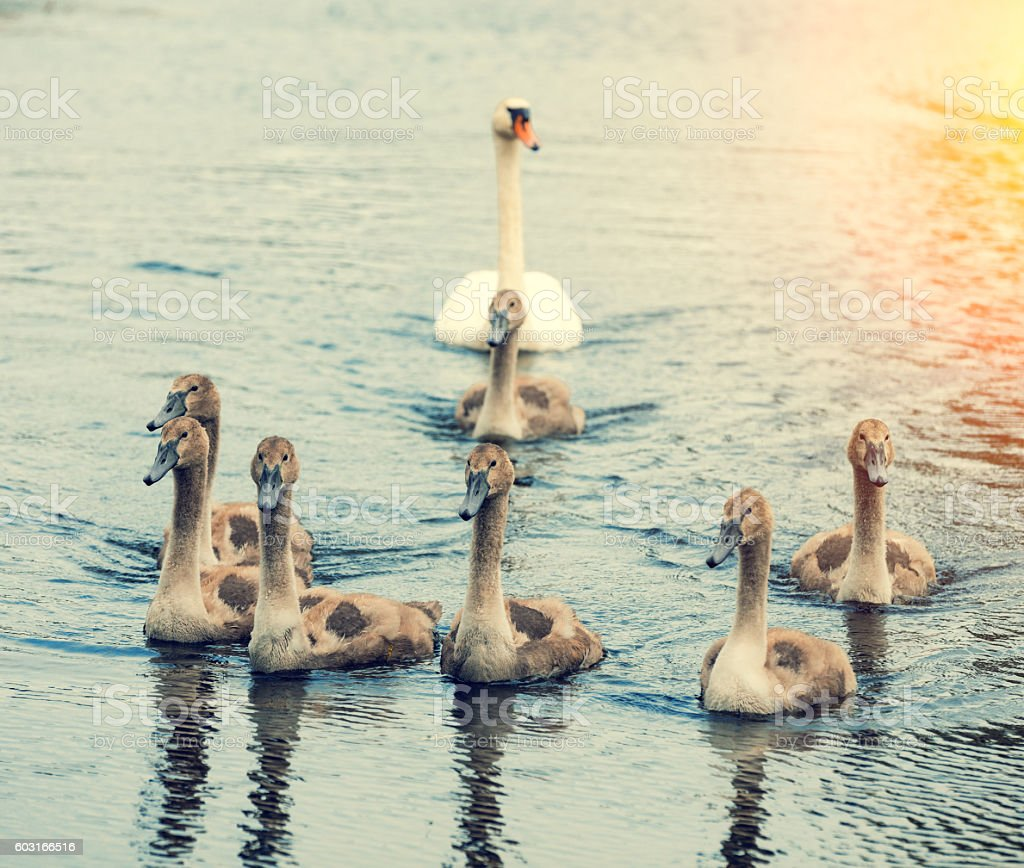 family of swans swimming on the river stock photo