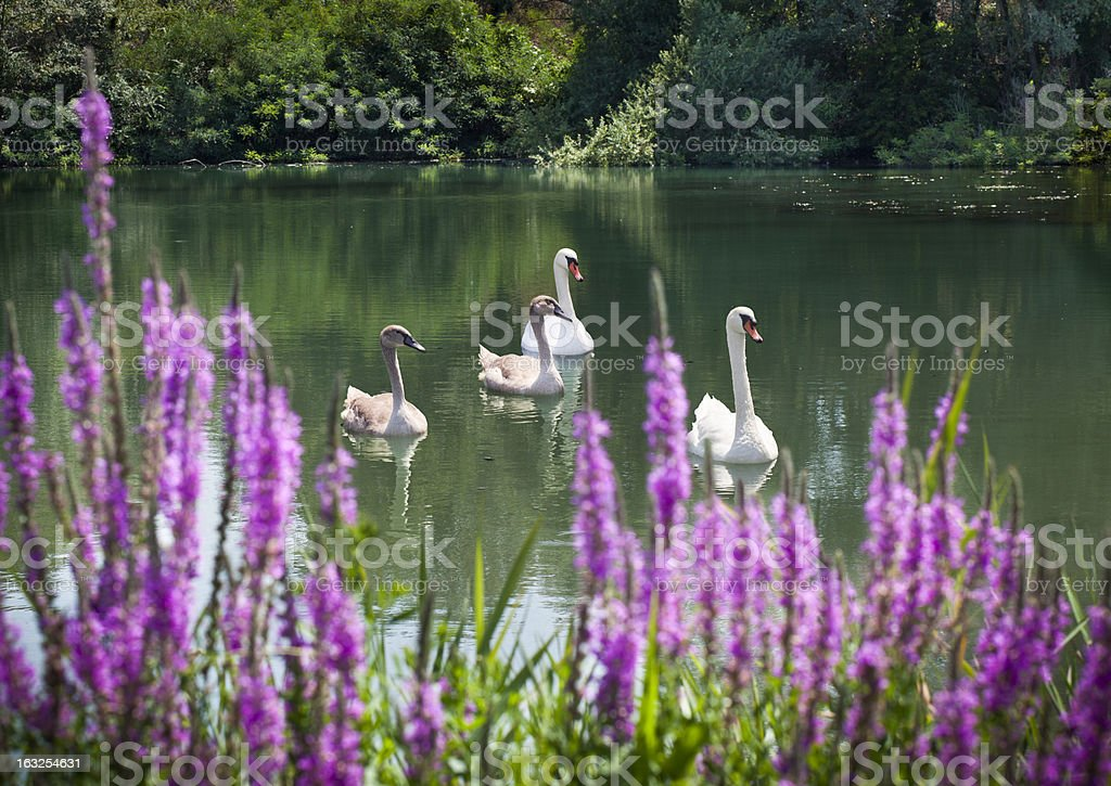 Family Of Swans With Purple Flowers In The Foreground stock photo