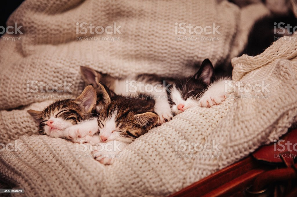 Family of tabby kittens sleeping together on warm woollen blanket stock photo