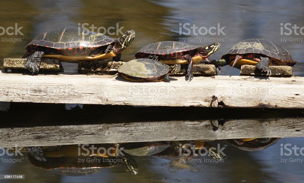 family of tortoises sun themselves on a plank stock photo
