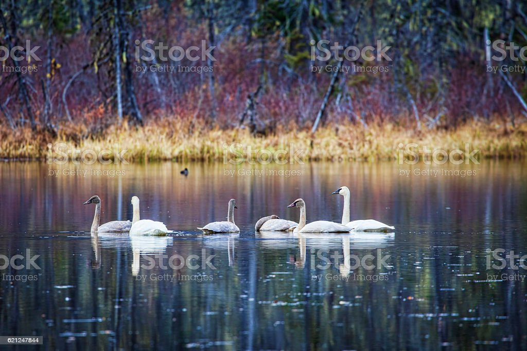 Family of trumpeter swans in fall stock photo