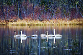 Family of trumpeter swans in fall