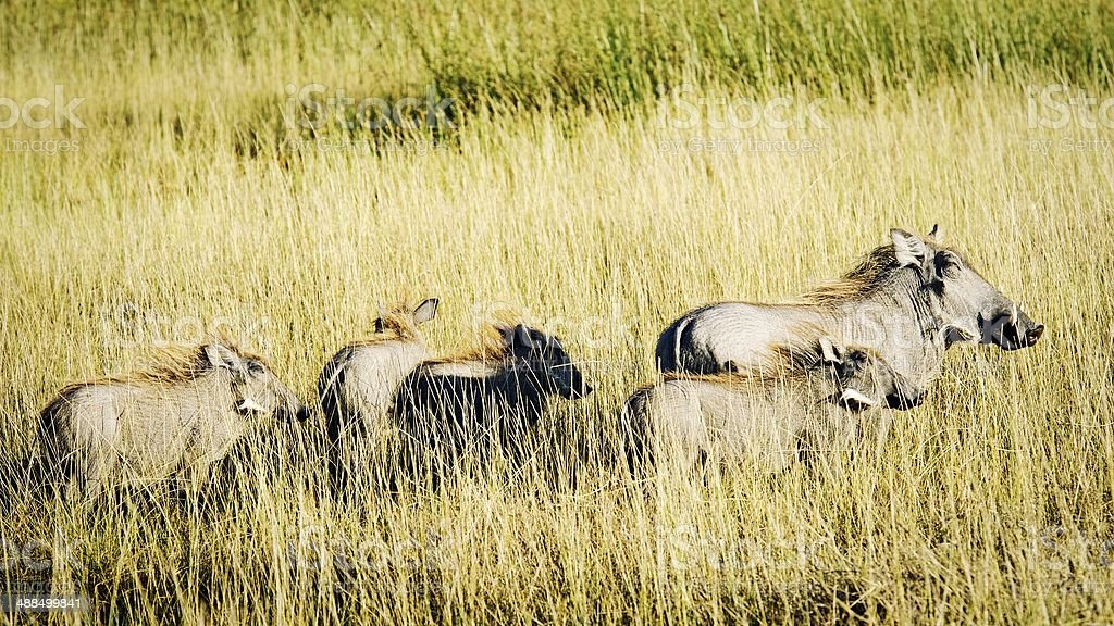 Family of warthogs royalty-free stock photo