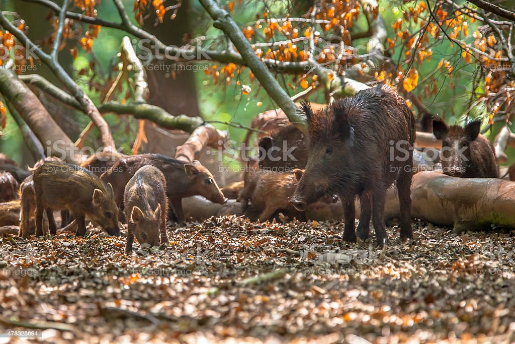 Family of Wild Boar by tree stock photo