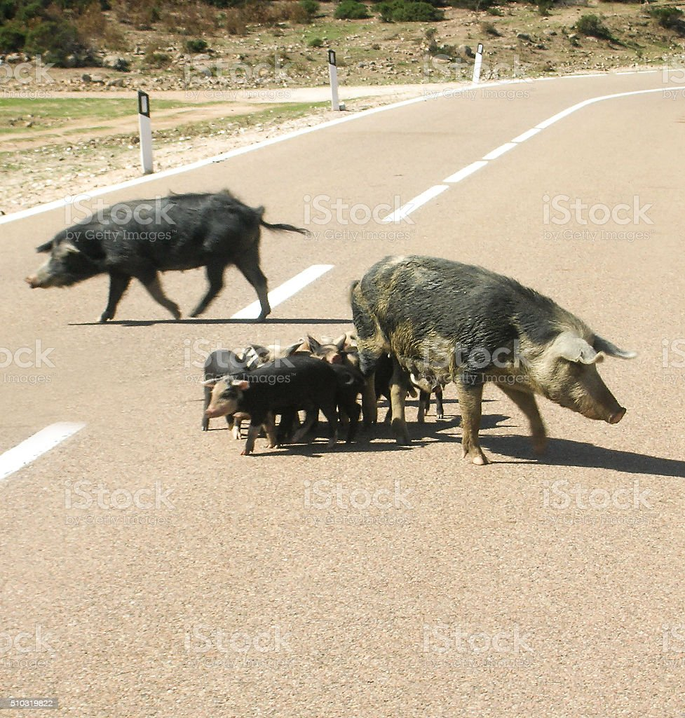Family of wild boar on the road in Sardinia stock photo