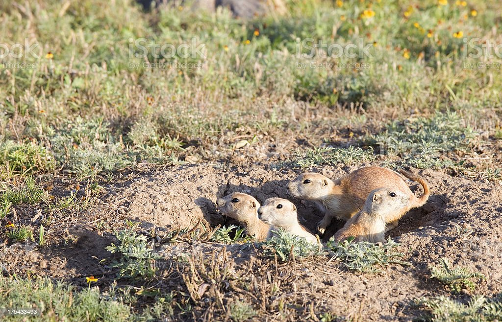 Family of young Prairie Dogs at Wichita Mountains Wildlife Refuge stock photo