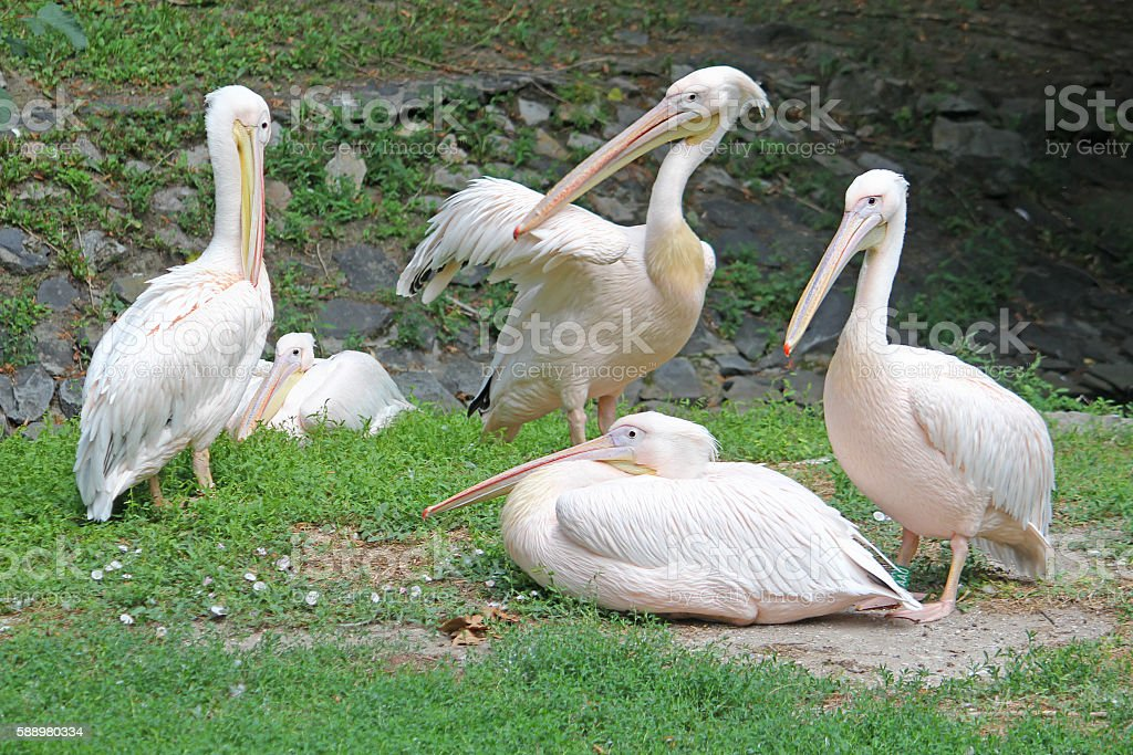Family pelicans cleans the feathers on the coast stock photo