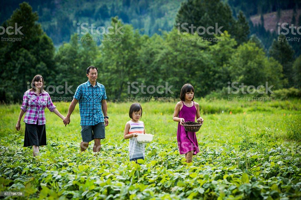 Family picking strawberries at farm. stock photo