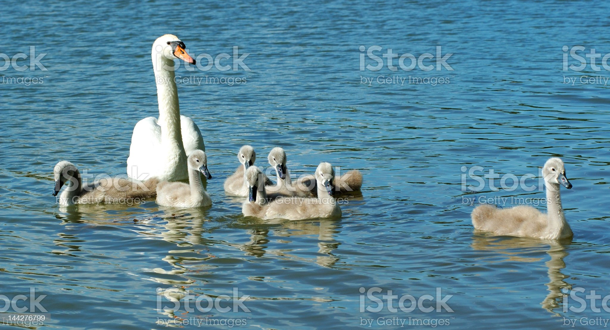 Family swam royalty-free stock photo