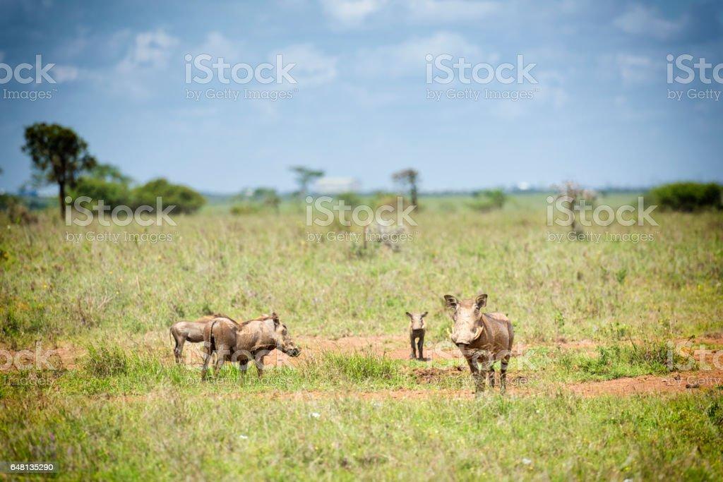 Family Warthog stock photo