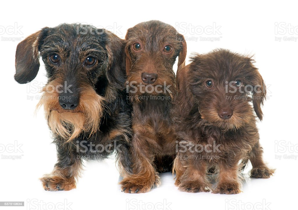 family Wire haired dachshund stock photo
