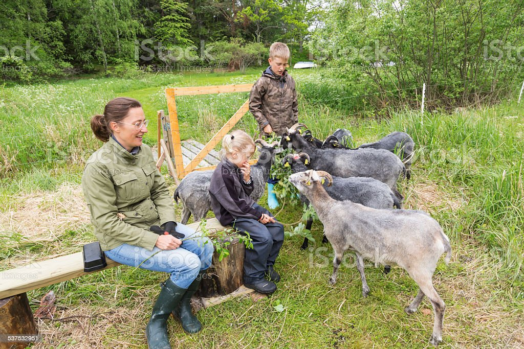 Family with sheep in the meadow. Stocholm Archipelago, Sweden stock photo