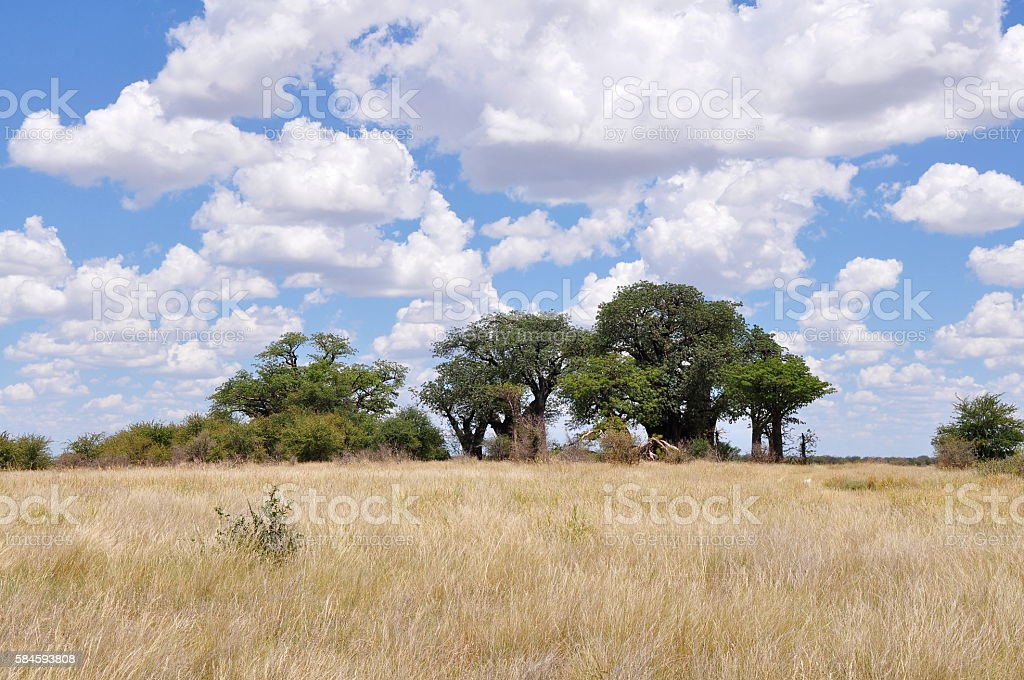 Famous Baines baobabs stock photo